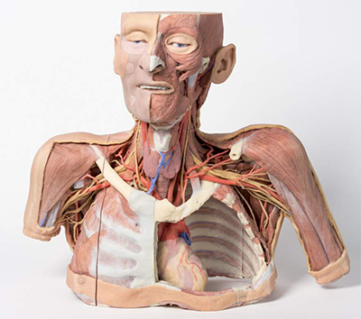 3D printed full color head and torso showing circulatory paths